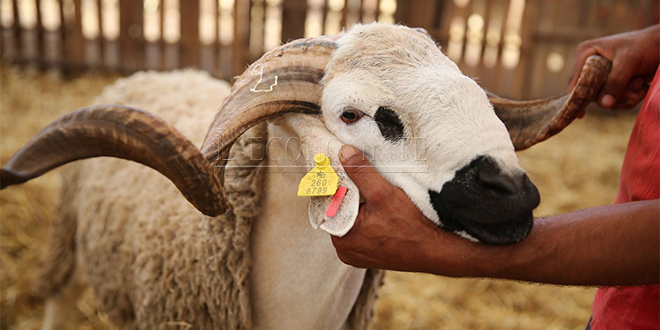 Cheptel: 8 millions de têtes seront identifiées pour l'Aïd Al Adha