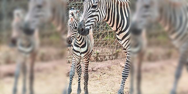 Jardin zoologique de Rabat : La famille des zèbres s'agrandit