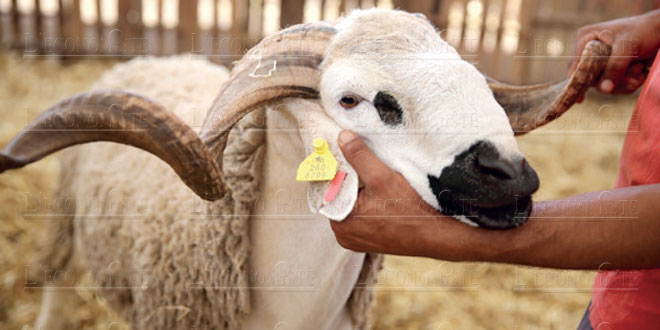 mouton-onssa-032.jpg